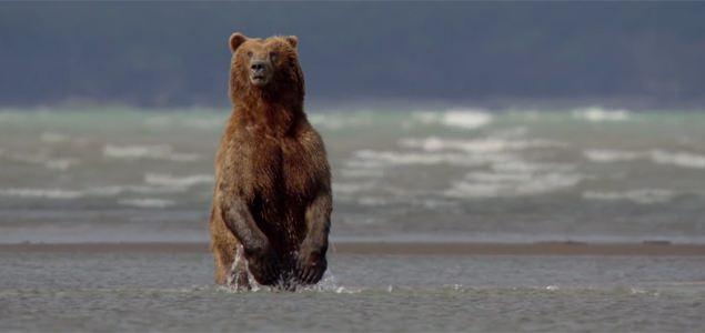 Bears Video